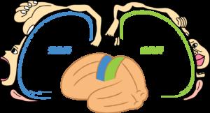 HASTA|脳と手相|ペンフィールド|東京